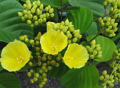 Bìm bôi hoa vàng là loài ngoại lai xâm hại các cánh rừng của Việt Nam.