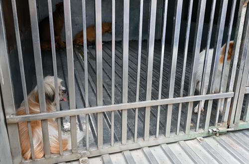 Chó thả rông bị bắt giữ sáng nay. Ảnh: Duy Trần.