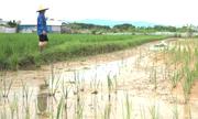 Nông dân ngoại thành Hà Nội 'trắng tay' sau ngập úng
