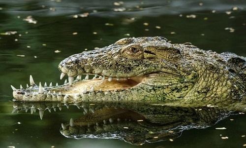 Con cá sấu không may bị gãy xương hàm. Ảnh: Mirror.