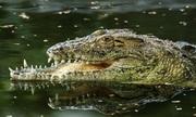 Cá sấu mất nửa bộ hàm sau khi bại trận trước đồng loại