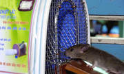 Nông dân miền Tây chế bẫy bắt cả chục con chuột mỗi đêm