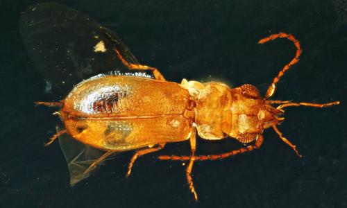 Xác bọ cánh cứng thụ phấn cổ đại phát hiện ở Myanmar. Ảnh:Chenyang Cai.