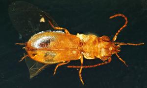 Bọ chết kẹt trong hổ phách 99 triệu năm cùng phấn hoa