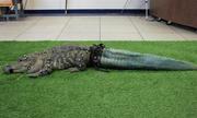 Cá sấu mất đuôi được gắn bộ phận giả