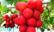 5 loại trái cây Nhật Bản nhập vào Việt Nam với giá đắt đỏ