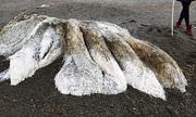 Xác sinh vật lông lá mắc cạn trên bờ biển Siberia