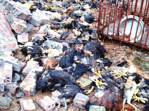 Hơn 3000 con gà của một hộ gia đình ở xã Bắc An bị chết do lốc xoáy đánh sập trang trại. Ảnh: Thành Long