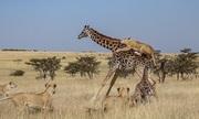 Sư tử đánh lạc hướng hươu cao cổ mẹ để đoạt mạng con non