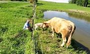 Bò mẹ cầu cứu người khi bê con mới sinh kẹt dưới hàng rào