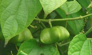 Hiệu quả kinh tế sau thử nghiệm giống cây mới Sachi