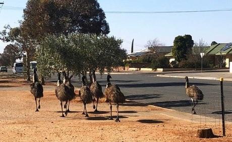 Chim emus lang thang trên phố ở Broken Hill. Ảnh: ABC.