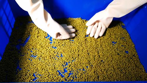 Sau khi ngâm đủ giờ, hạt đậu để ráo rồi dàn đều trên khay ủ và đưa vào máy làm giá 4 ngăn do anh Vũ tự thiết kế. Mỗi khay giao động từ1,5kg đến 2,5 kg nếu làm giá ngắn. Với giá dài thì dưới 1,5kg -làm ngắn đổ nhiều, làm dài đổ ít. Từ một cânđậu có thể ra 5 -7 kg thành phẩm.