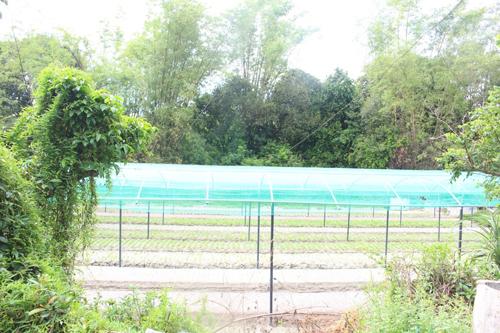 Rau được trồng dưới mái vòm bằng lưới hạn chế mưa nắng.