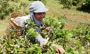 Người dân Quảng Ngãi đổ xô đi hái sim rừng
