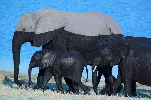 Đo mực nước biển bằng voi.