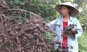 Hàng nghìn m2 nhãn sắp thu hoạch bị san phẳng ở Hà Nội