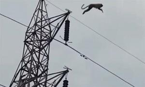 Cú nhảy từ độ cao 20 mét của khỉ mắc kẹt trên cột điện