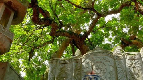Cây nhãn tổ tại Phố Hiến, Hưng Yên. Ảnh: Bizmedia