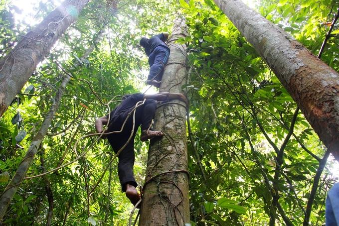 Người đàn ông 65 tuổi băng rừng, trèo cây lấy mật ong