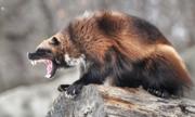 Động vật ăn thịt hung dữ nhất vùng cận Bắc Cực