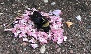 Đàn kiến mang cánh hoa phủ quanh xác ong nghệ