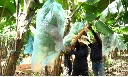 Nông trường chuối cho sản lượng 4.000 tấn mỗi năm tại Bà Rịa Vũng Tàu