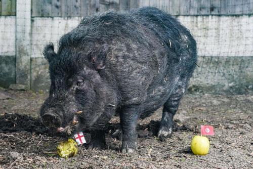 Lợn Marcus lựa chọn quả táo có gắn lá cờ Anh khi dự đoán kết quả trận bán kết World Cup giữa Anh và Croatia hôm 11/7. Ảnh: Sun.