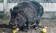 Lợn dự đoán sai kết quả World Cup được đưa đi trốn vì bị dọa giết