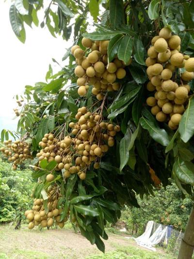 Nhãn Miền Thiết năng suất tốt nên được nhiều nông dân ưu tiên lựa chọn. Ảnh: NVCC