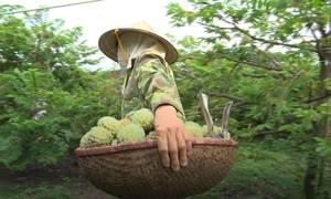 Vùng trồng na dai Tam Đảo
