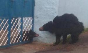Vào làng kiếm ăn, gấu con kẹt đầu giữa cổng sắt