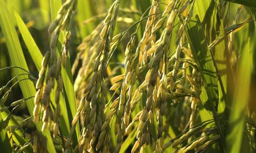 Hạt gạo Séng Cù thơm dẻo của núi rừng Tây Bắc