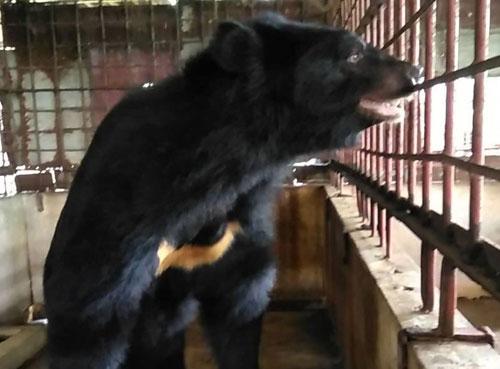 Một trong số 5 cá thểgấu được cứu hộ trong hôm nay. Ảnh:AnimalsAsia.