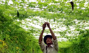 Nông dân Đồng Nai thu trăm triệu đồng mỗi vụ từ trồng khổ qua rừng