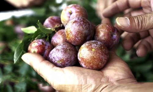 Tăng gấp đôi doanh thu nhờ trồng xen canh cà phê với mận hậu