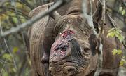 Khởi động sáng kiến giảm tiêu thụ sừng tê giác tại Việt Nam