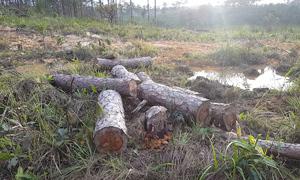 Hơn 1.000 cây thông bị đốn hạ lấy đất sản xuất ở Lâm Đồng