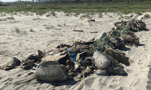 Rùa biển chết hàng loạt do vướng vào lưới đánh cá. Ảnh: PROFEPA.