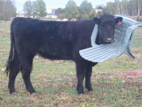 Lý do người ta thường nói ngu như bò.