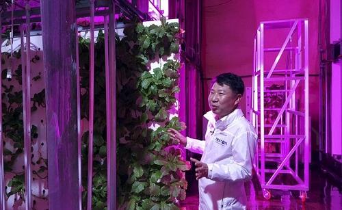 Choi Jae Bin, người đứng đầu NextOn giải thích về hệ thống canh tác trong nông trại thẳng đứng ở Okcheon, Hàn Quốc. Cạnh Choi là từng tầng lá mè trồng thủy canh. Ảnh: AP.