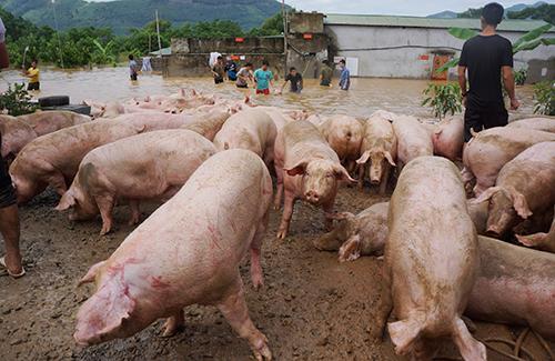 Đến chiều nay, đàn lợn hơn 1.000 con ở Cẩm Ngọc đã được chủ trại di chuyển hết. Ảnh: Lam Sơn.