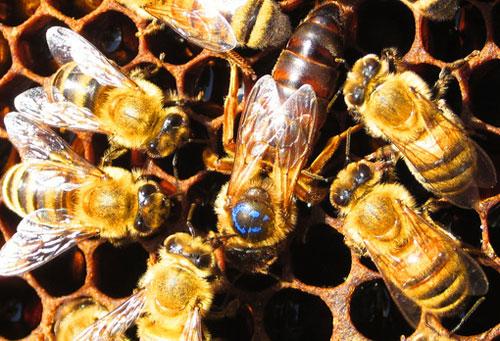 Ong chúa luôn là nhân tố thúc đẩy ong thợ chăm chỉ kiếm thức ăn, xây tổ.