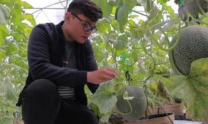Bỏ du học Mỹ, chàng trai về nước trồng dưa thu 200 triệu mỗi tháng