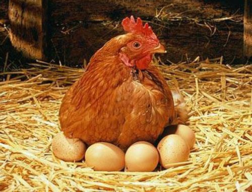 Giống gà đẻ siêu trứng hiện được nhiều hộ nông dân chăn nuôi.