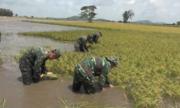 Bộ đội An Giang giúp dân thu hoạch lúa 'chạy lũ'