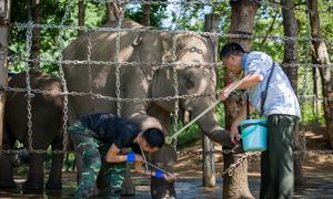 Những 'bảo mẫu' của voi rừng ở Buôn Đôn