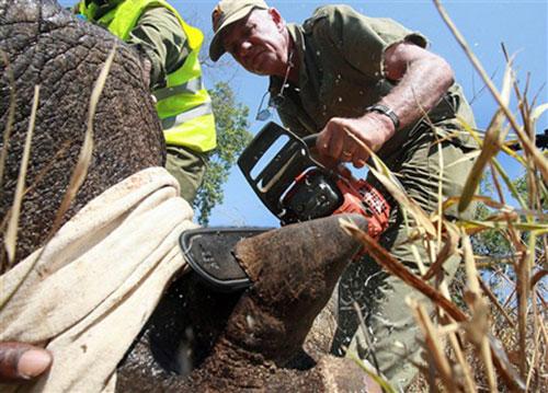 [Nhân viên bảo vệ rừng cắt sừng tê giác bằng cưa trong công viên quốc gia Chipinge của Zimbabwe. Ảnh: AFP.