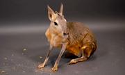 Loài thú giống con lai giữa thỏ và kangaroo