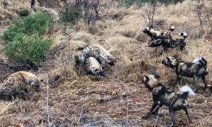 Linh cẩu hỗn chiến với chó hoang để giành mồi